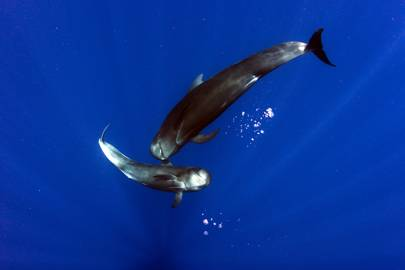 A couple of short-finned pilot whales in the Atlantic