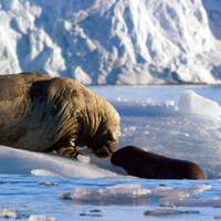 A walrus mother and calf on an iceberg in the Arctic