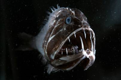 A fangtooth fish