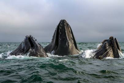 A school of humpback whales feeding off the coast of Monterey