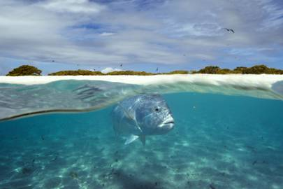 Giant Trevally patrolling the shallows of a lagoon in the Indian Ocean